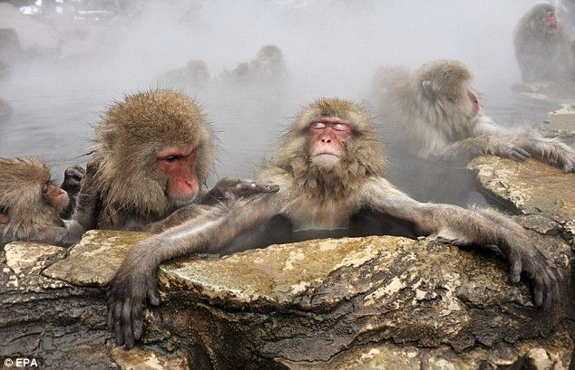 Pictured The Japanese Snow Monkeys Who Enjoy Nothing More Than A