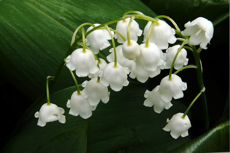 lilies of the valley, (convallaria majalis) from pixdaus