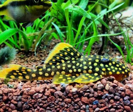 Gold Nugget Pleco Gorgeous Tropical Fish Aquarium Aquarium Fish Tropical Freshwater Fish