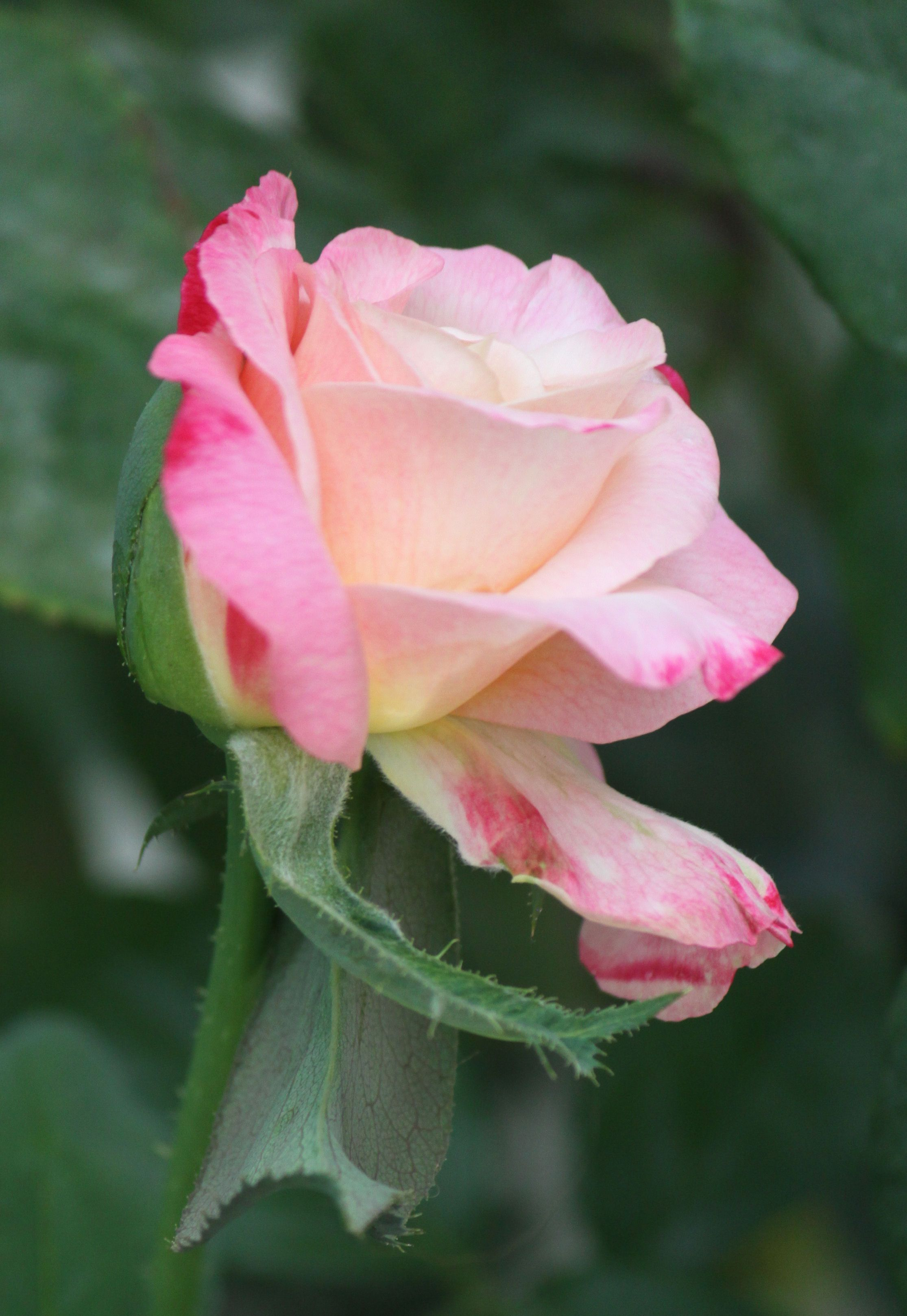 Mixed Color Rose Guller
