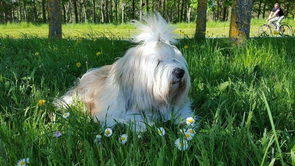 Tibetan terrier | Tibetan terrier, Animals, Terrier