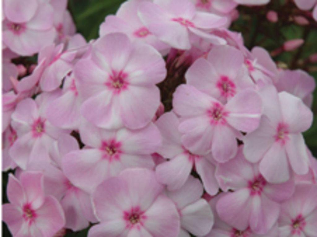 Phlox panucilata 'DITOMFAV' Cotton Candy PP 21369 Plants