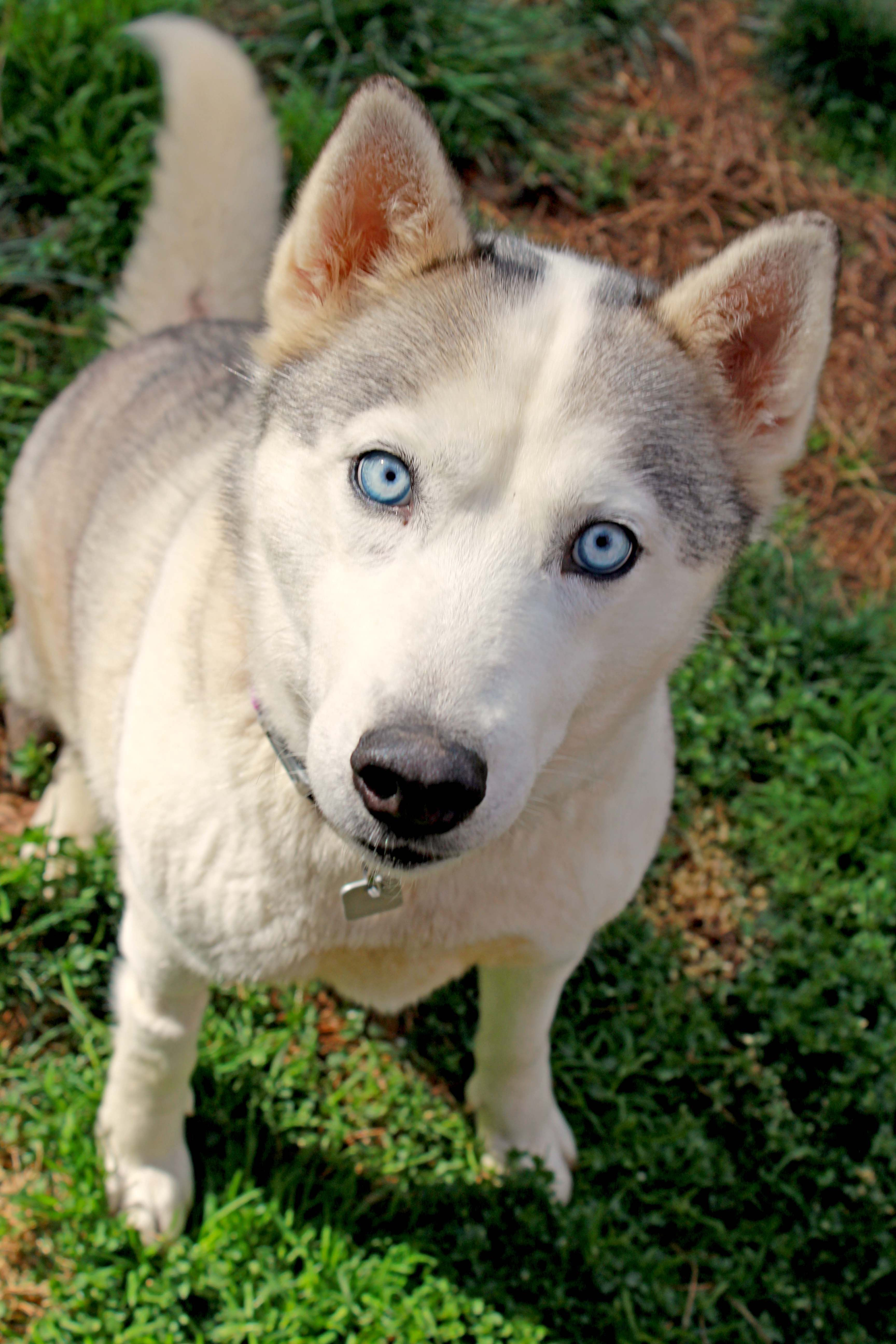 Siberian Husky dog for Adoption in Raleigh, NC. ADN771876