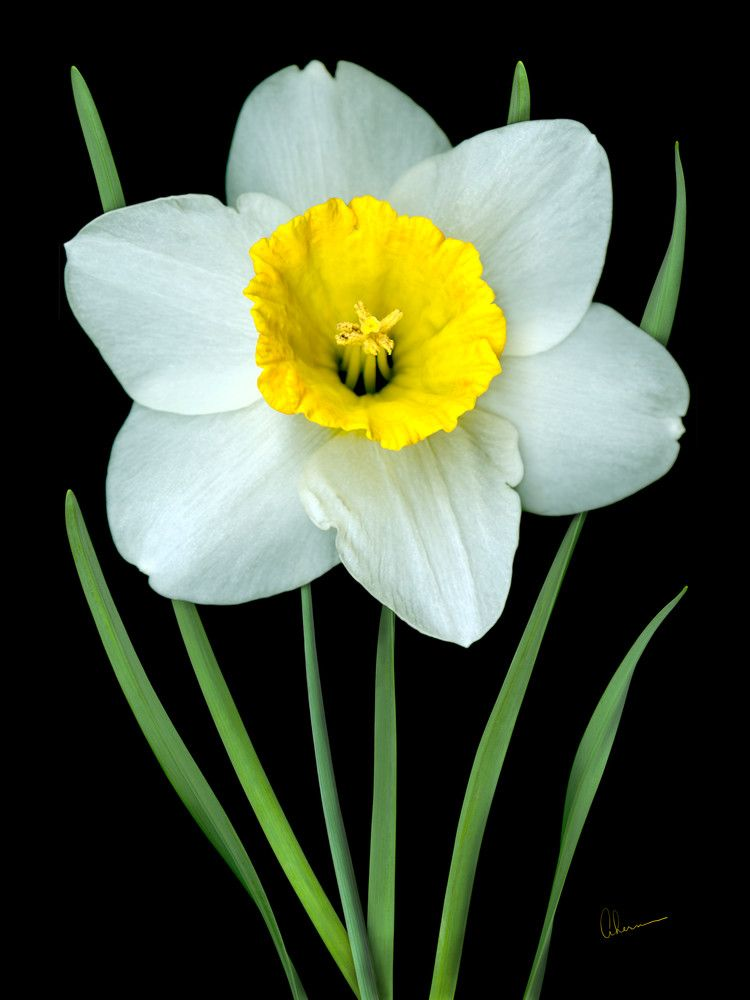 Single White Daffodil Designer Print Yellow Flower Art Daffodils Flower Pictures