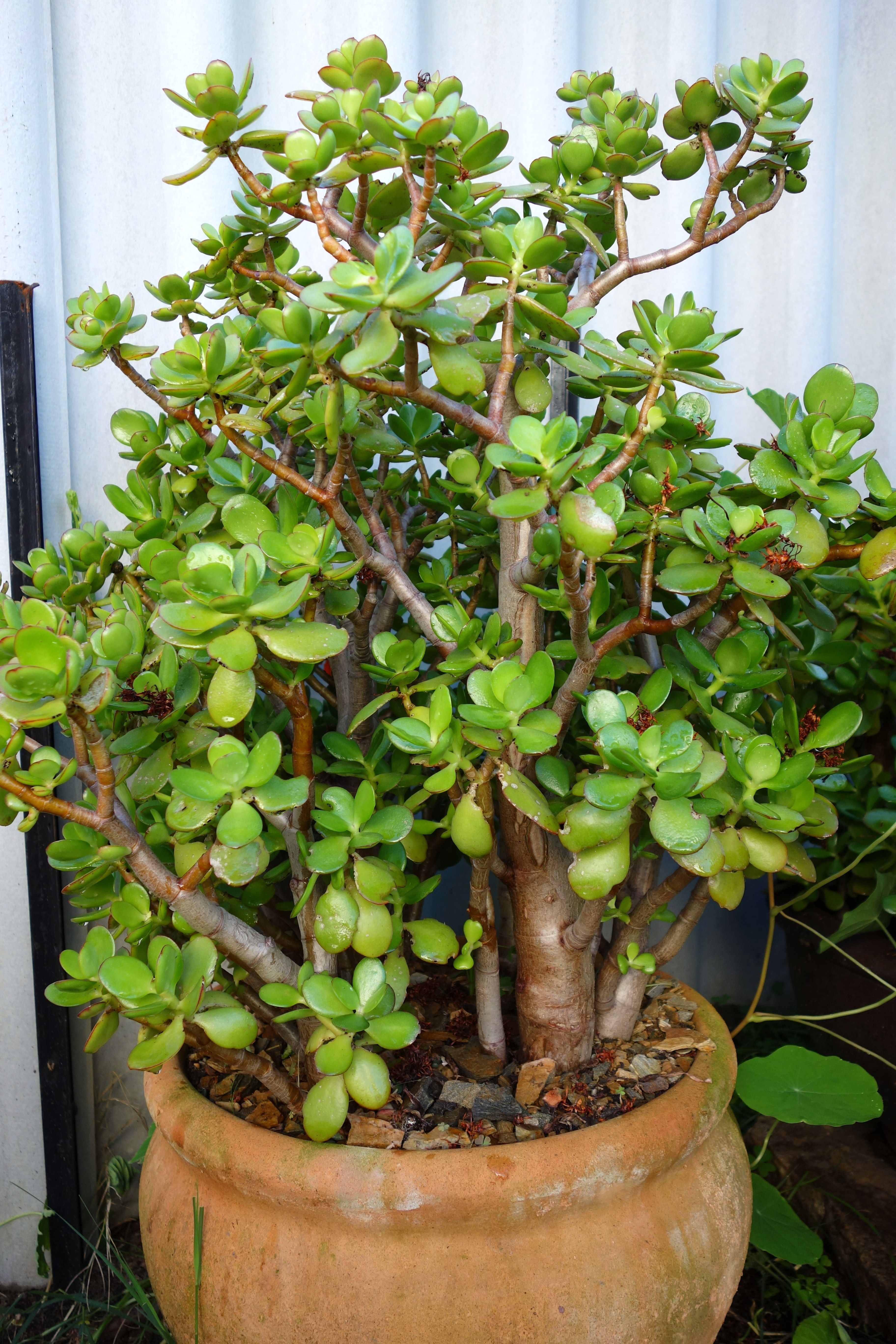 Crassula ovata in a large terracotta pot jade plants