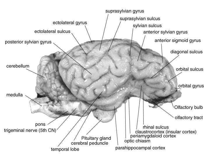 Side View Of Brain Labeled Fresh Sheep Brain Dissection in