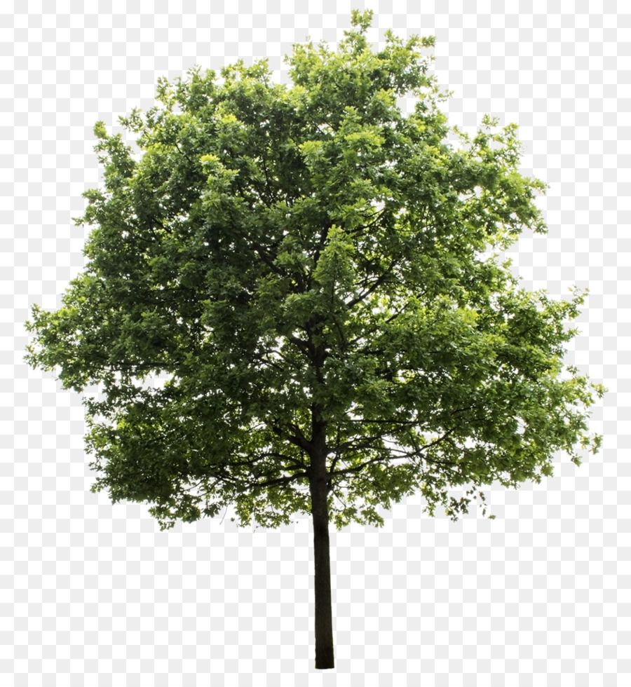 Quercus Suber Tree Clip Art Trees Png Is About Is About Plant Shrub Tree Oak Woody Plant Quercus Suber Tree Cl Tree Photoshop Tree Render Trees To Plant