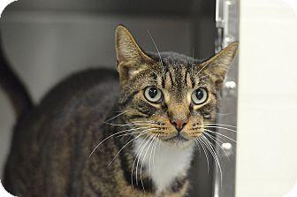 Philadelphia, PA - Domestic Shorthair. Meet JAZZ, a cat for adoption. http://www.adoptapet.com/pet/13968165-philadelphia-pennsylvania-cat