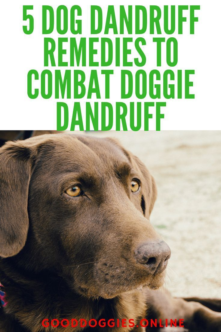 5 Dog Dandruff Remedies To Give Your Dog Relief from Itchy