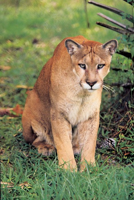 The Florida panther is an endangered subspecies of cougar that ...