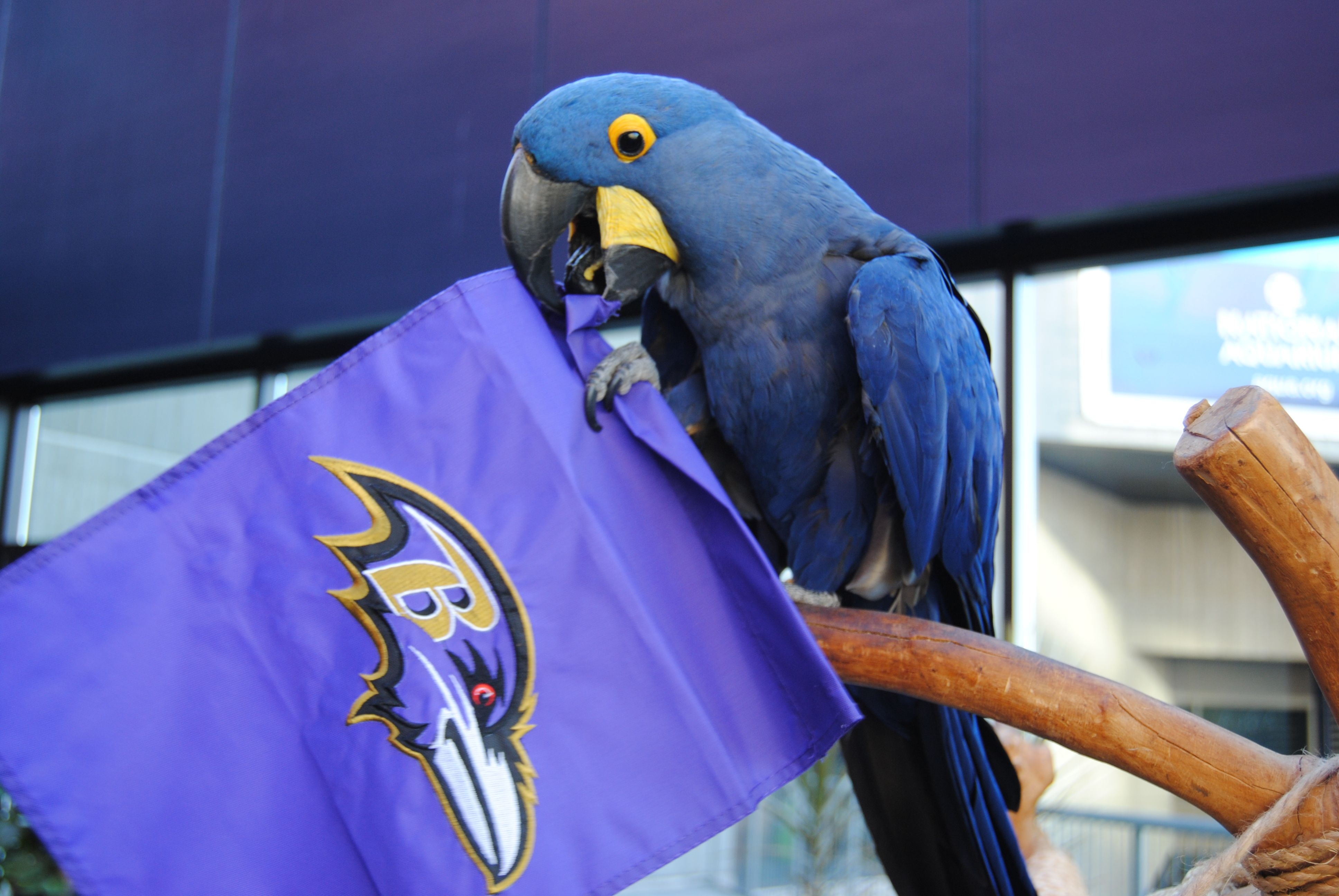 Happy Purplefriday From Margaret Our Hyacinth Macaw Go Ravens Cute Animals Purple Pride Macaw