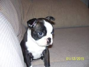 Oklahoma City Pets Craigslist Pets Pets Oklahoma Boston Terrier
