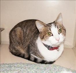 Petfinder Adoptable Cat Domestic Short Hair Richmond Va Starburst Cat Adoption Domestic Short Hair Cats