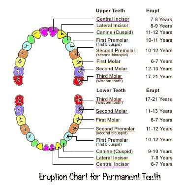 Ages baby teeth fall out google search also eruption chart http essentialbaby rh pinterest