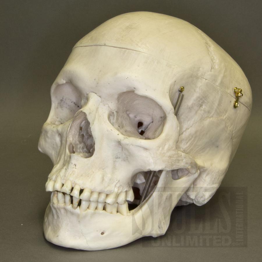 Wok 2333 Real Human Skull Natural Bone Art Ref Heads