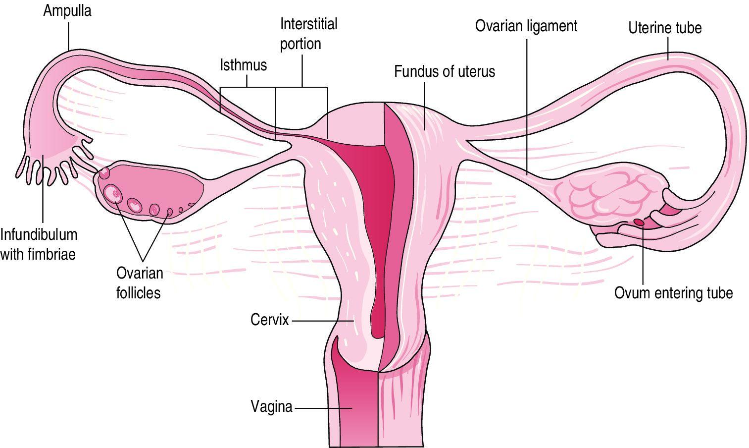 diagram of uterus and fallopian tubes   diagram of uterus and fallopian  tubes the practising midwife
