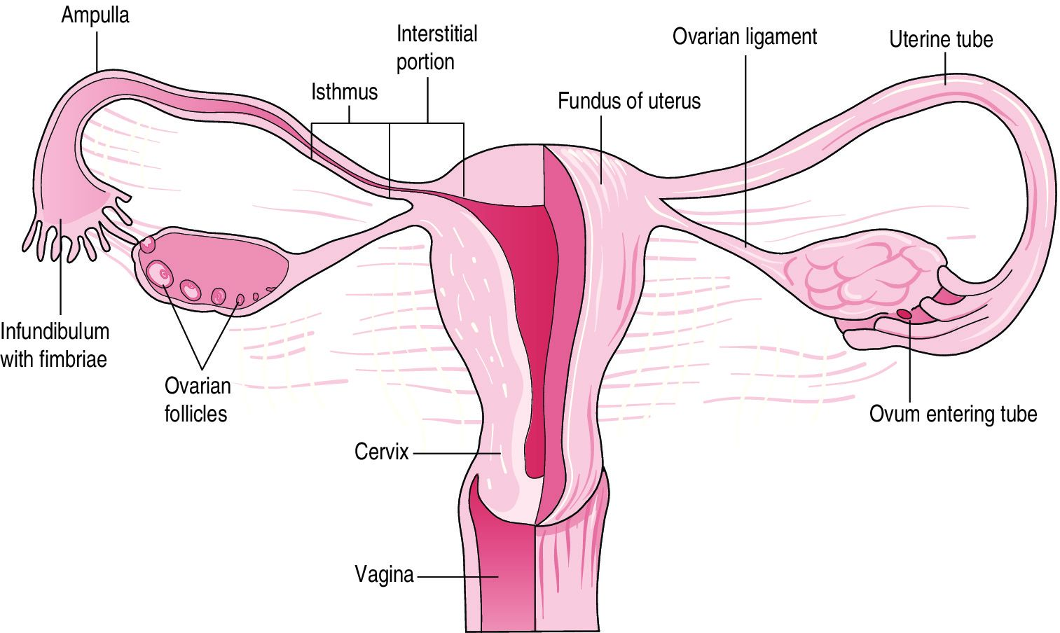 Pin on human anatomy organsPinterest