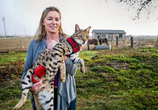 """""""Trouble"""" (F2) Savannah Cat named """"Trouble"""" was, at November 2011, the Guinness World Records tallest domestic cat at 19 inches to the shoulder."""