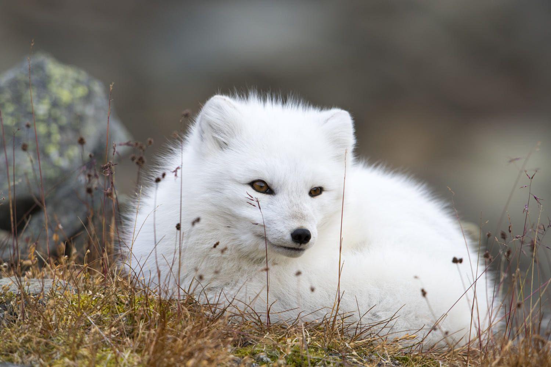 Polar Fox Polar