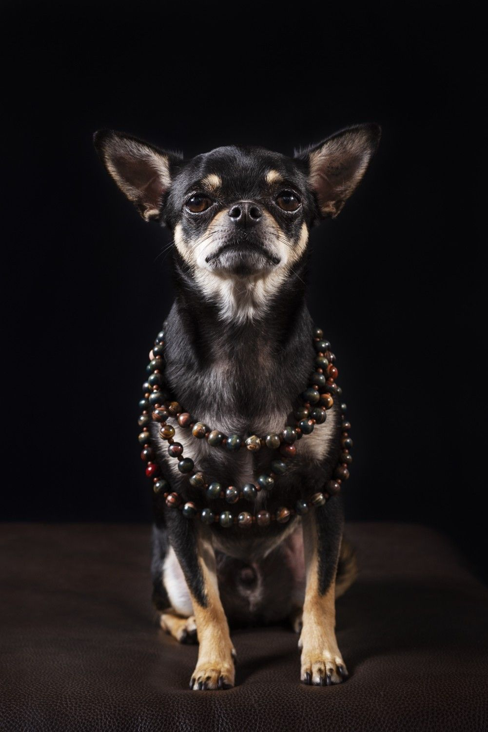 Chihuahua, dog photos Melbourne, Northern suburbs