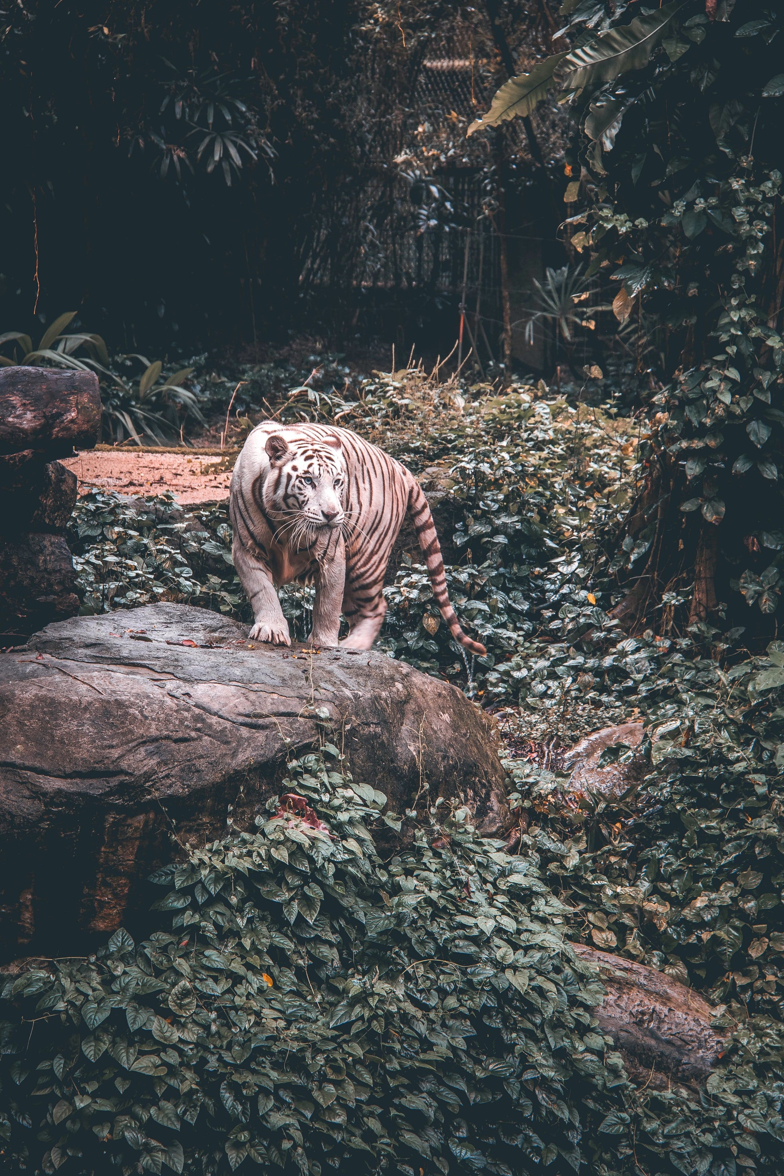 White Tiger Standing On Grey Stone Tiger Photography Animals Animal Wallpaper