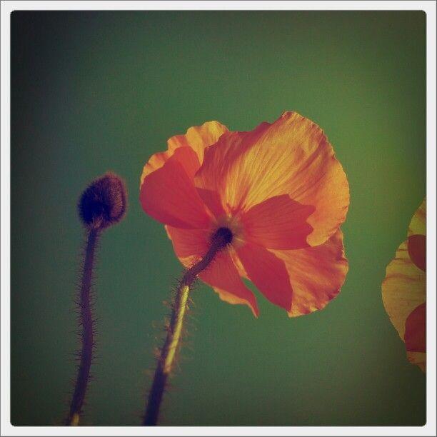 poppy - hau