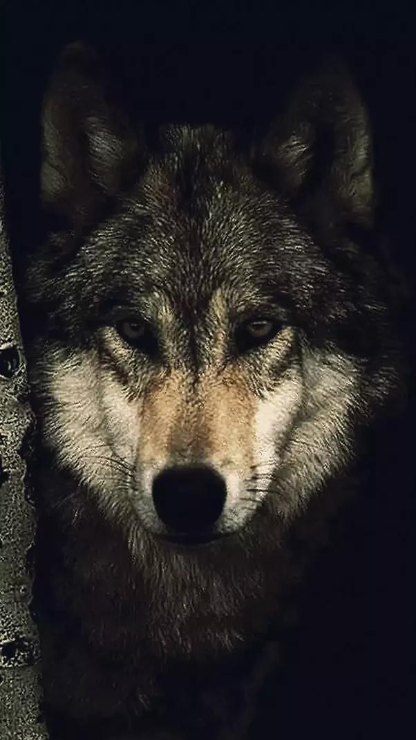 меня волк фото на айфон этой