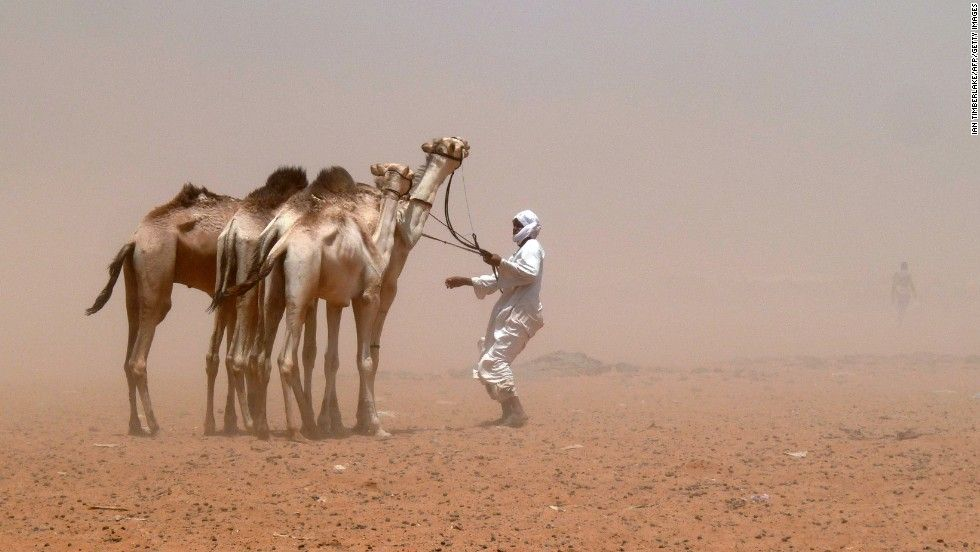 """You crazy man. We may be camels but know enough to know this is bad news."""