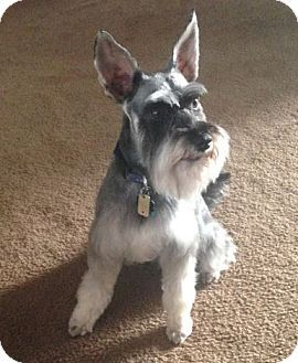 Miniature Schnauzer Dog For Adoption In Jacksonville Florida Fritzie Gsd Dog Dog Adoption Pets