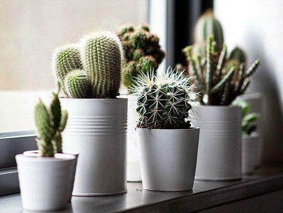 Photo of Windowsill Cactus Collection, 105 rare seeds, five fancy varieties, drought tolerant, container garden, desert garden, great hostess gift