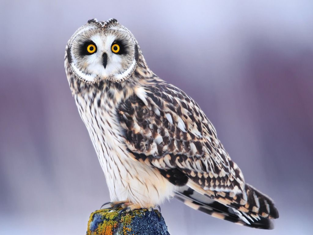Owl Wallpapers Free Download HD Wallpapers Pictures