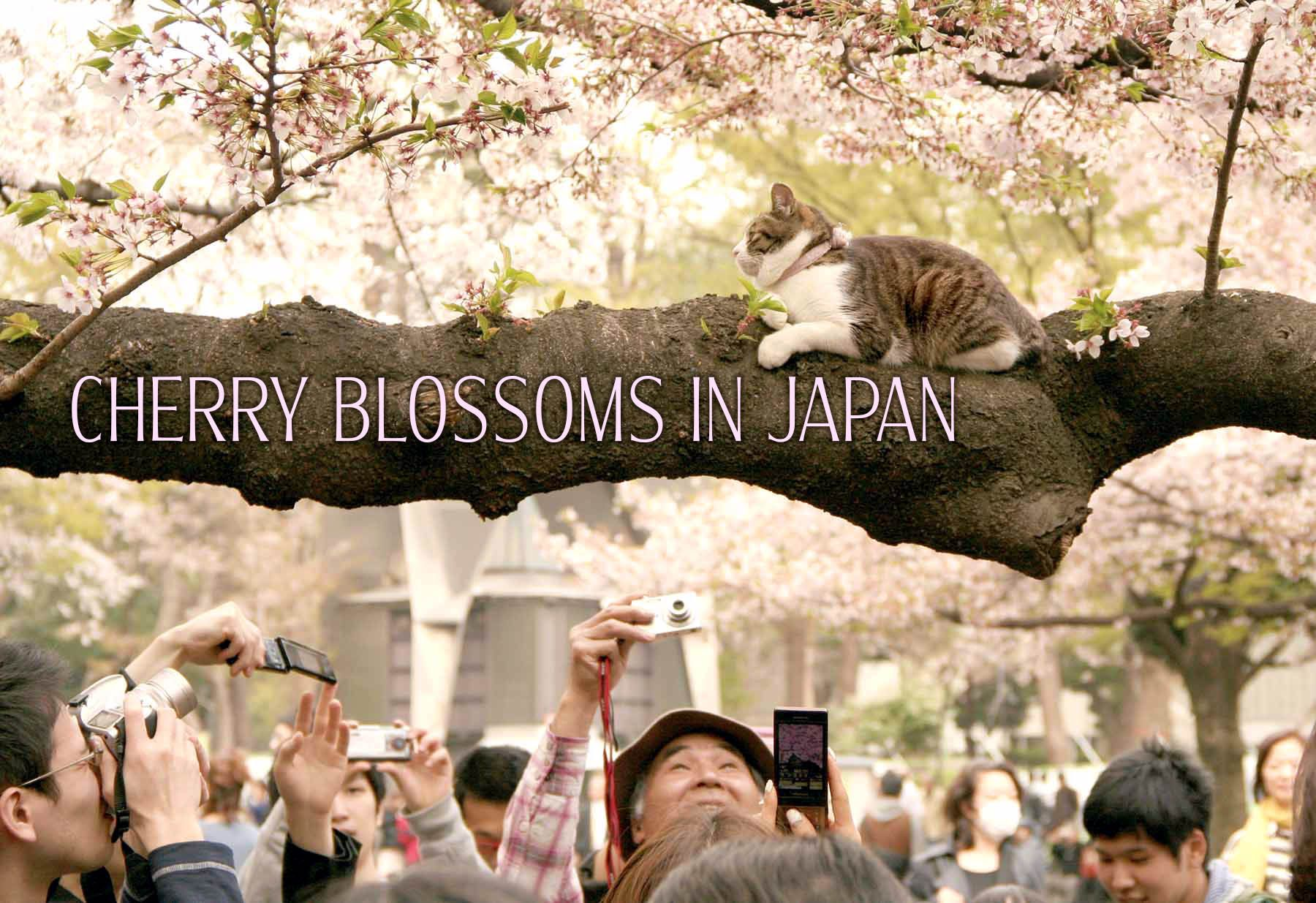 Where To See Cherry Blossoms In Japan Cherry Blossom Japan Japan Places To See