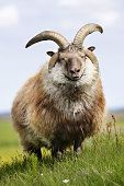 Four-horned_sheep