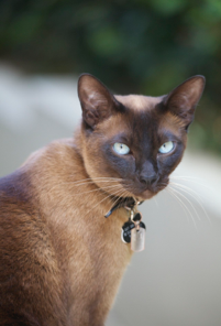 Clareville Cats Tonkinese And Thais Tonkinese Cat Cats Tonkinese