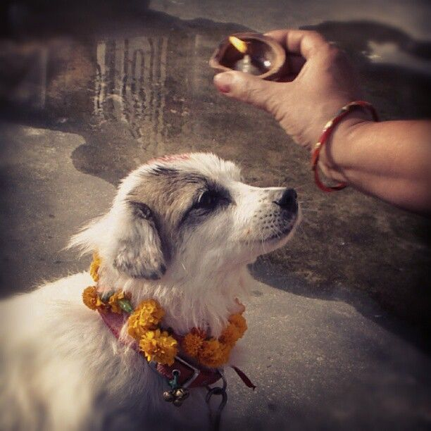 The day of dog worship. #kukur #tihar #dog #worship #garland #doggie #cute #spitz