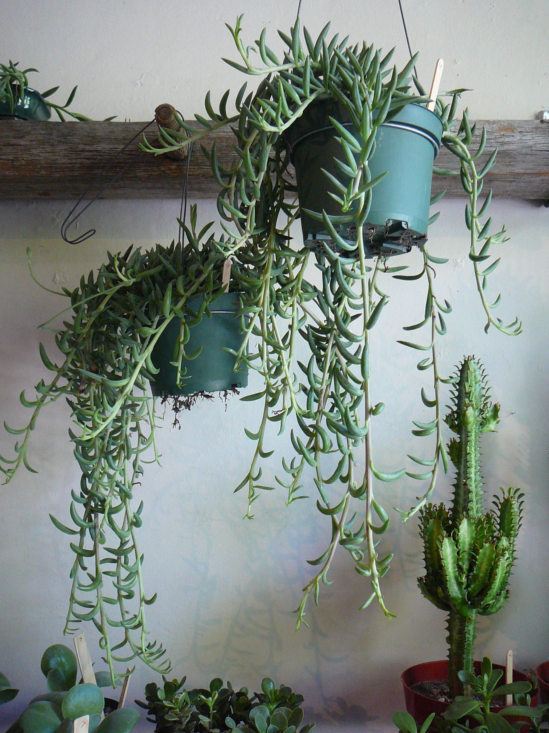String Of Fishhooks Senecio Radicans Plants Gardens