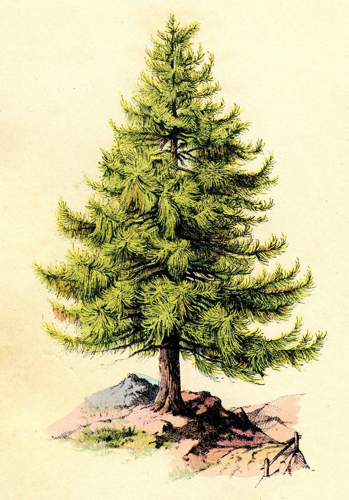 Vintage Clip Art - Perfect Pine Tree | Pinterest | Vintage clip art ...