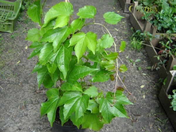 Rosliny Do Cienia Co Posadzic W Cienistym Miejscu W Ogrodzie Plants Herbs