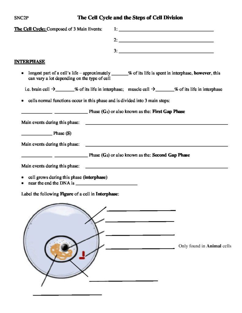 The Cell Cycle and the Steps of Cell Division - Worksheet - October ...