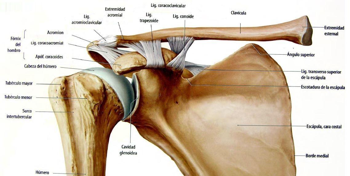 Articulación del hombro. Diartrosis multiaxial. | SISTEMA ...