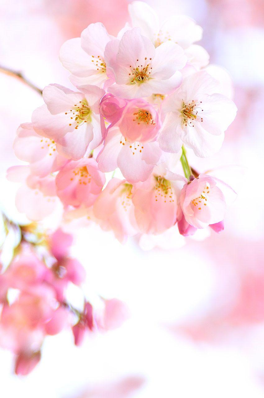 Cherry Blossom Bouquet Cherry Blossom Flowers Cherry Blossom Bouquet Flower Aesthetic