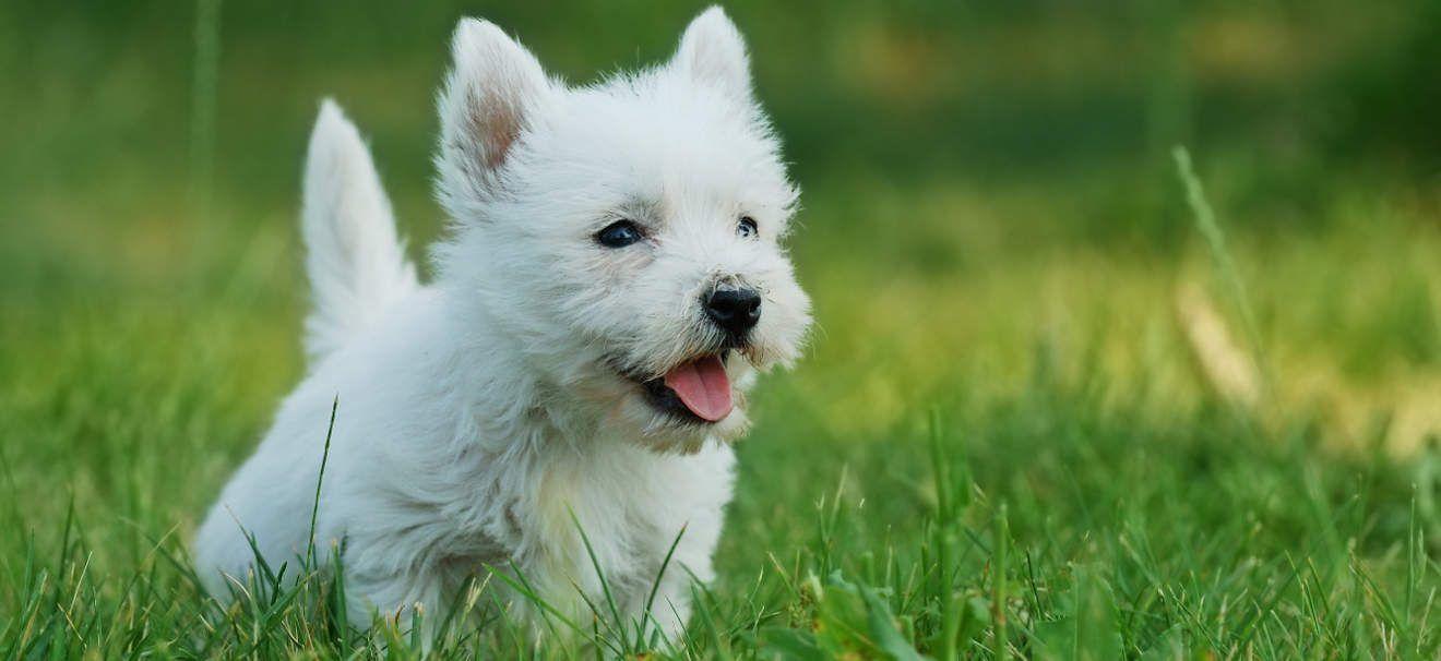 White terrier, perros más bonitos del mundo