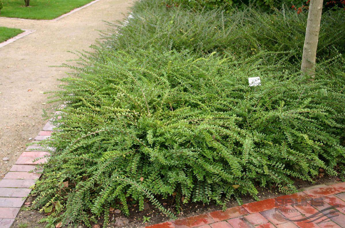 Lonicera pileata oliv pflanzen null bruns site for Evergreen pflanzen