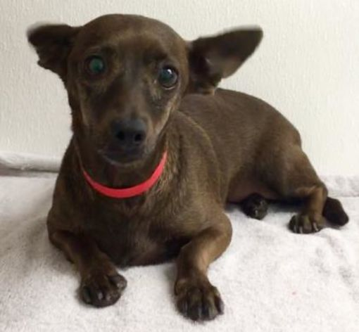 Phoenix, AZ Dachshund. Meet Lilly a Dog for Adoption