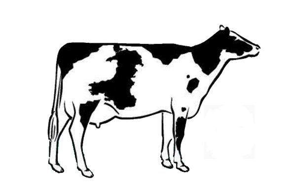 Dairy Cow Drawing