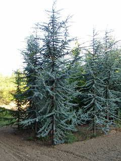 Blue Atlas Cedar I Have Two And Love Them How To Care For Tree