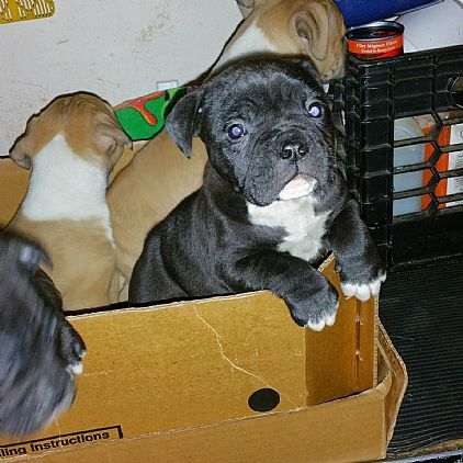 Olde Bulldog English Bulldog Cross Pet Dog Puppies For Sale In