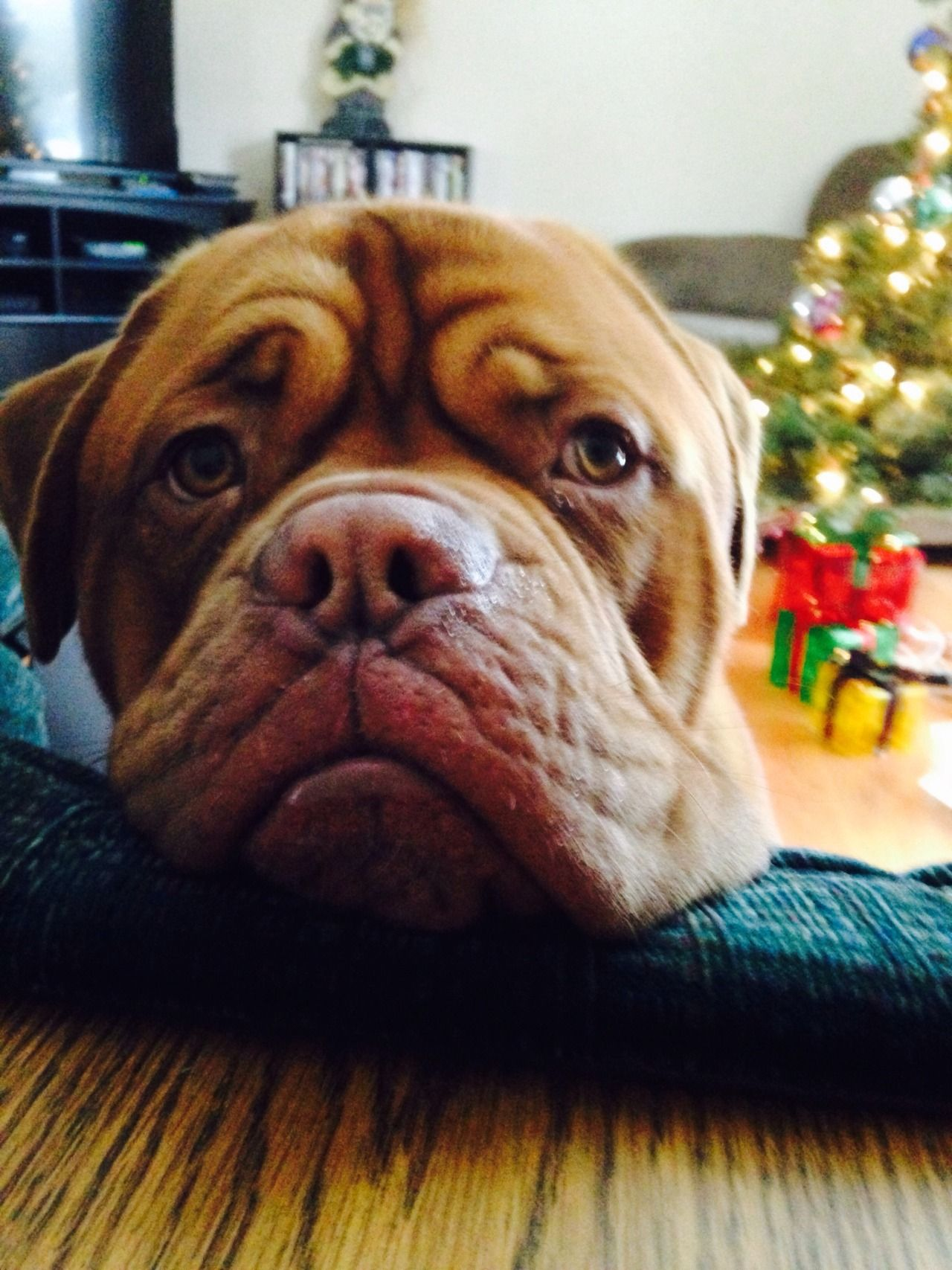 This Is Brutus The French Mastiff He Looks Big And Mean But Hes