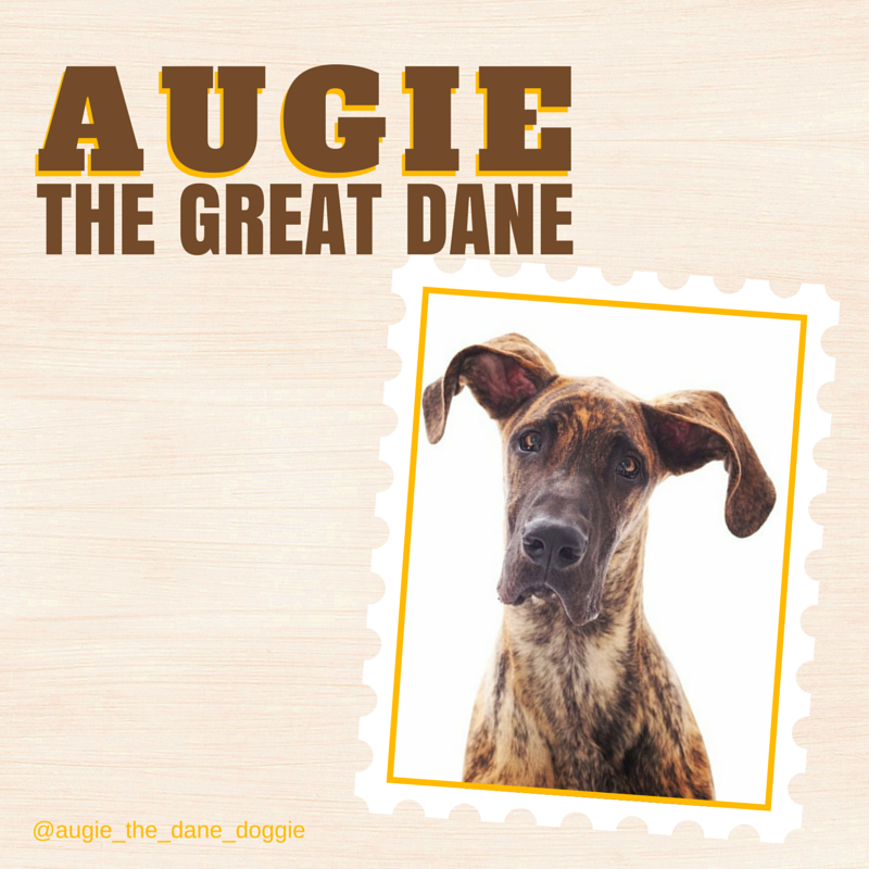 Apparently Augie gets called a 'Flying Nun' all the time!  We can't understand why that might be ;)  So gorgeous is Augie the Great Dane. #instagram #dogs #Augie
