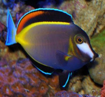 Pesci tropicali marini cerca con google colorato for Pesci acqua fredda piccoli